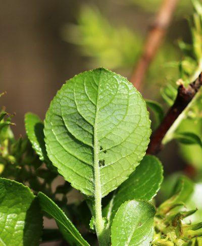 Salix_myrsini_Blatt